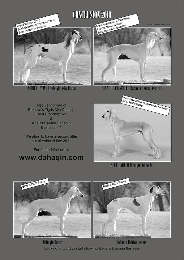Swedish Saluki Club Spring Issue 2011/1